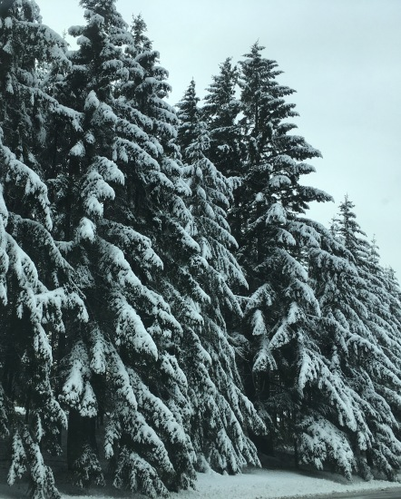 snowtrees