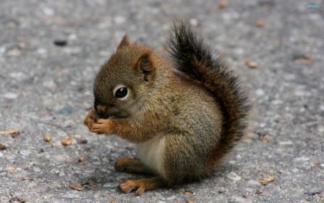 Squirrel-